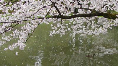 Dhorisakura.jpg
